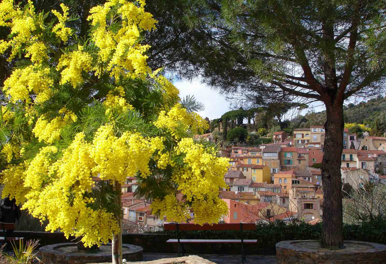 Mimosa flowers in Borme les Mimosas Cote Azur